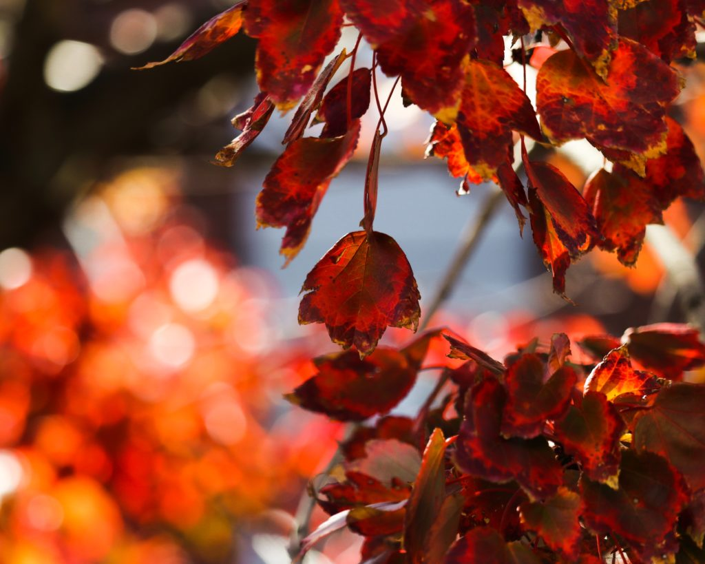 red leafed plant