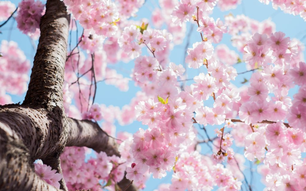 let the stars cherry blossoms your life!